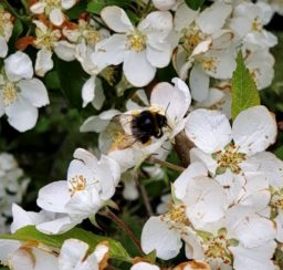 close up of a black and yellow bumble bee on white hawthorn flowers
