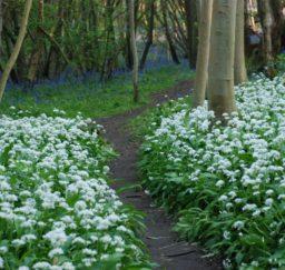 a mud path edged with swathes of white wild garlic flower and bluebells through Freston Wood