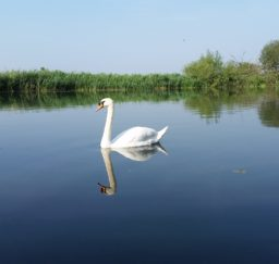 the mirror-calm surface of water at Cattawade, edged with green rushes and trees, while a single white swan glides across the water on a sunny day