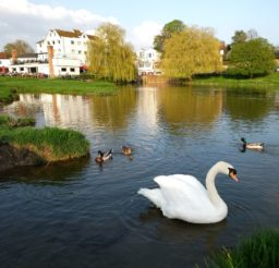 The Mill (a large square white building), 3 ducks and a swan on the River Stour at Sudbury, with two weeping willow trees in the background on a sunny day