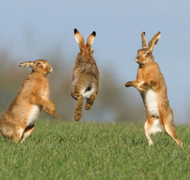 A group of 3 leaping hares in a green field