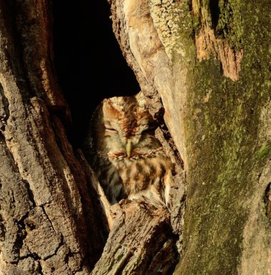 tawny owl sitting in a hole in a tree