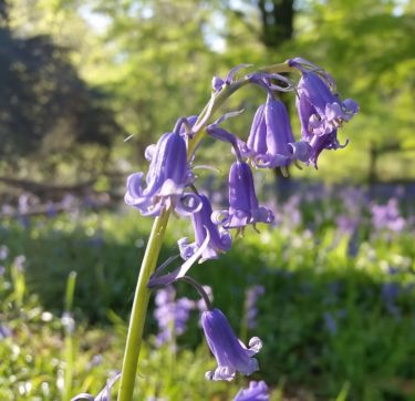 Close up image of a bluebell plant with a carpet of bluebells out of focus in the background