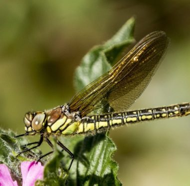 A close up image of a green dragonfly perched on a flower drying its wings