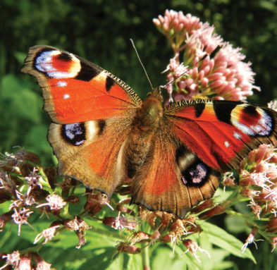 A beautiful Peacock butterfly sitting on some flowers