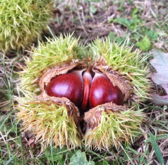 shiny sweet chestnuts bursting out of their prickly green case