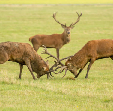 2 stunning red deer clashing antlers during the rut, while another watches on in the background