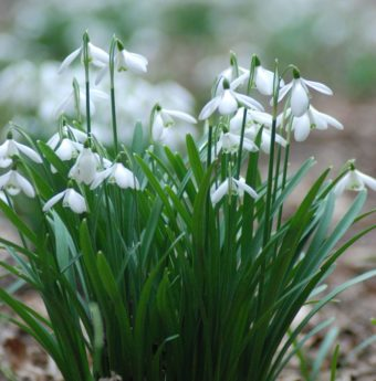Close up image of a small clump of delicate white snowdrops