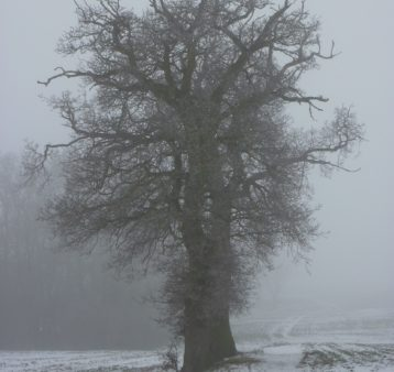 A huge old tree shrouded in fog on a snowy morning