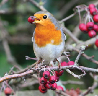 A robin sitting on a branch with a berry in its beak