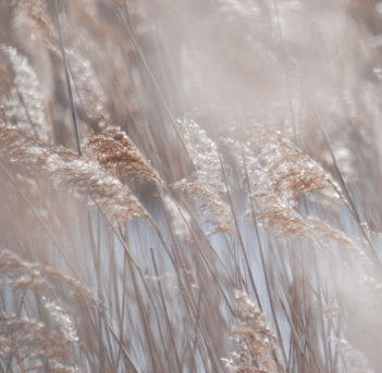 Close up image of reeds on a frosty morning