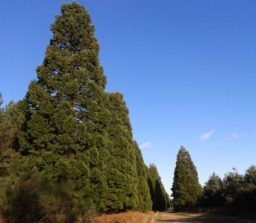 Shakers Road avenue of Giant Redwood Trees against a bright blue sky along a wide track on a sunny day