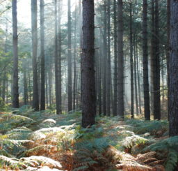 forest of tall trees with shafts of sunlight being cast onto the bracken beneath at Brandon Country Park