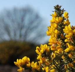 close up of beautiful golden yellow gorse flowers at Weather Heath
