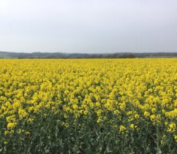a field of golden yellow rape at Brampton
