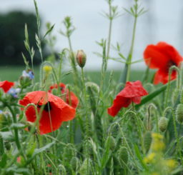 Close up image of red poppies in a field in Witnesham