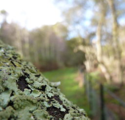 close up of pale green lichen on an old tree branch