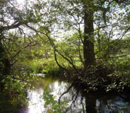 A shady glade with a pond in the woodland