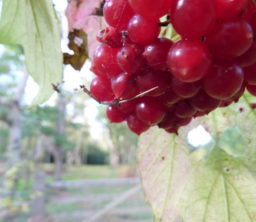 Red berries on a tree branch with a wooden 5 bar gate in the background