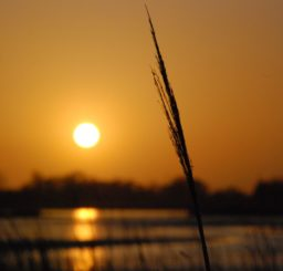 Close up of a reed at sunset, looking out across the River Alde