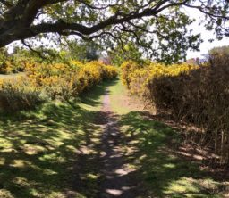 A grassy path through bright yellow gorse bushes emerging from the shade of a large tree on Walberswick Common