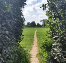 view through a gap in a holly hedge of a narrow sandy cross-field footpath edged on both sides by green crops in Martlesham