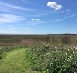 A view along a grassy path across marshland all the way to the sea in the far distance on a sunny day, with bright blue skies and whispy white clouds