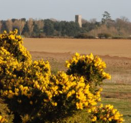 a view of yellow gorse flowers in the foreground, across scrubby sandy heathland at Snape Warren, to a grey square church tower in the distance