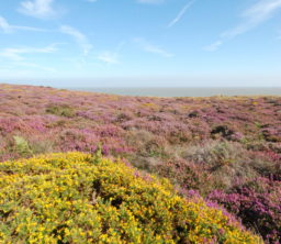 a view across stunning purple heather and yellow gorse in bloom on Dunwich Heath on a glorious sunny day