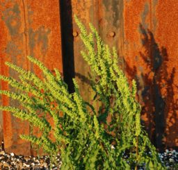 a yellow flowered sea plant against a rusty orange metal structure on the beach at Bawdsey