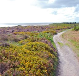 a winding track with yellow and purple heather on one side, looking out towards the sea on Dunwich Heath